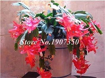 200 PCS Seeds Mixed Color Schlumbergera Zygocactus Truncatus Rare Flowers Bonsai