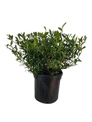 Radicans Dwarf Gardenia (Cape Jasmine), Full Gallon Pot (Gardenia Cape Jasmine)