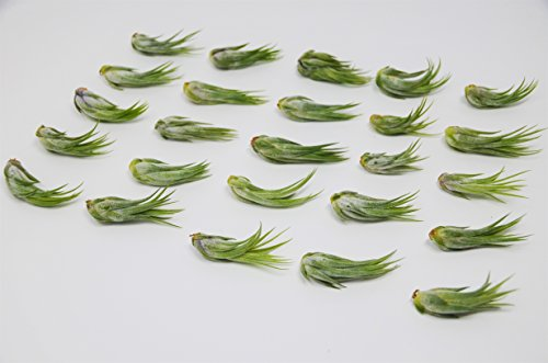 Bulk Kolby Air Plant Pack / 2 Inches Large / Wholesale (25, 50 and 100 Packs)