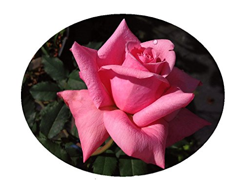 BELINDAS Dream Heirloom Rose Bush Live Plant Fragrant Double Pink Flowers Perpetual Bloomer Starter Size Emerald Tm