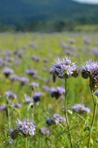 Phacelia Flowers - Phacelia Scorpion Weed Flowers Journal: Take Notes, Write Down Memories in this 150 Page Lined Journal
