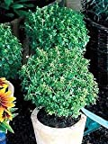 Basil Boxwood Ocimum basilicum 2,000 Seeds