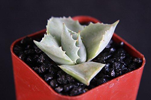 Heirloom Agave Isthmensis Rare Succulent Plant Miniature Rose Bonsai Cactus Cacti 2