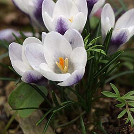 GEOPONICS 4 Birnen: Freesie Birnen, Freesie Blumen, Blumen Orchideen, Freesiablumen