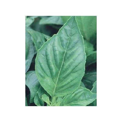 Basil Nufar Ocimum basilicum 1,000 seeds: Home & Kitchen