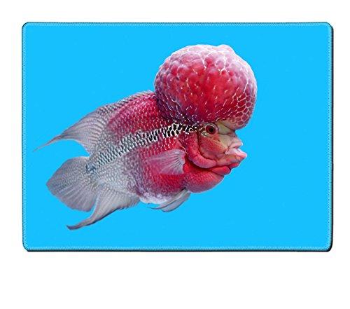 Luxlady Placemat Image ID: 42903252 flowerhorn cichlid or cichlasoma fish in the aquarium