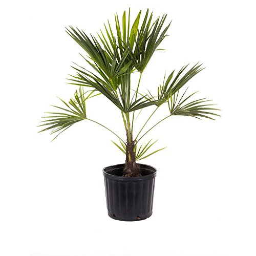 AMPLEX Windmill Palm Tree-Cold Hardy 2ft Planted Height Live, 3 Gallon by AMPLEX