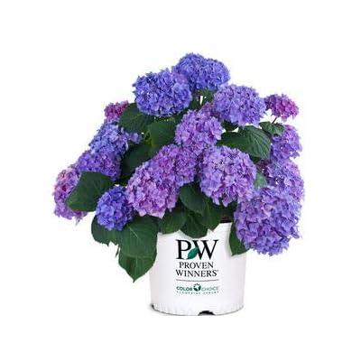 Hydrangea-Lets-Dance-Rhythmic-Blue - QT Pot (Shrub) : Garden & Outdoor