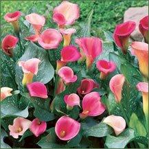 10 Calla Lily Parfait (Collection Parfait)