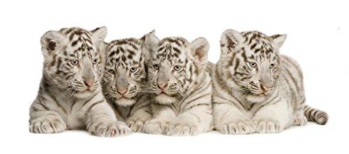 """Wallmonkeys White Tiger Cub 2 Wall Decal 30"""" W x 13"""" H - Medium-Large"""