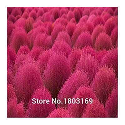 Shopvise 100 Seeds/Pack Bonsai Bassia Scoparia Seeds for Home Garden Grass Seeds Easy Grow Landscape Seeds Kochia Scoparia Seeds : Garden & Outdoor