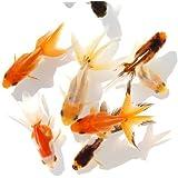 (国産金魚)オタマ金魚ミックス(5匹) 本州・四国限定[生体]