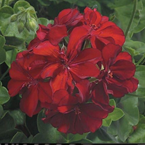 Ivy Geranium - Global RED - Zonal - 2 Plants - 4
