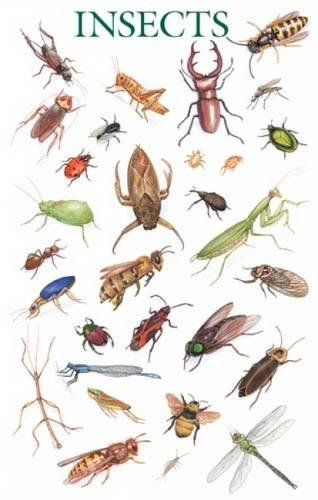 Insects Poster (Dover Posters)