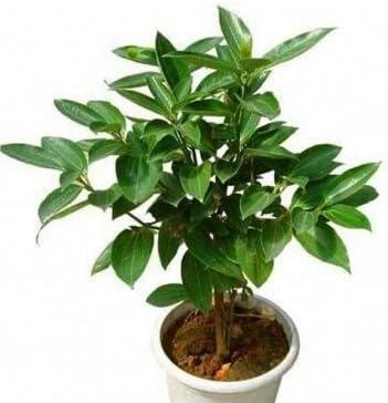 6pcs Canela Semillas Indoor Bonsai árbol De Hoja Perenne Semillas Jardín Y Exteriores
