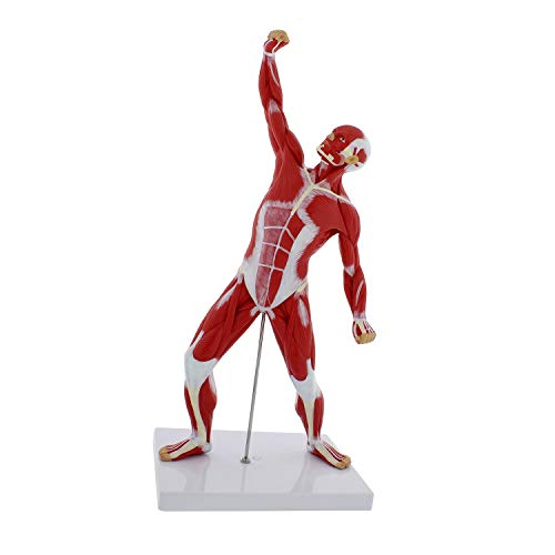 "MonMed | Human Muscle Model – 20"" Inch Mini Human Muscle Figure Human Anatomy Muscle Model Muscular System Model - Skeleton Muscle"