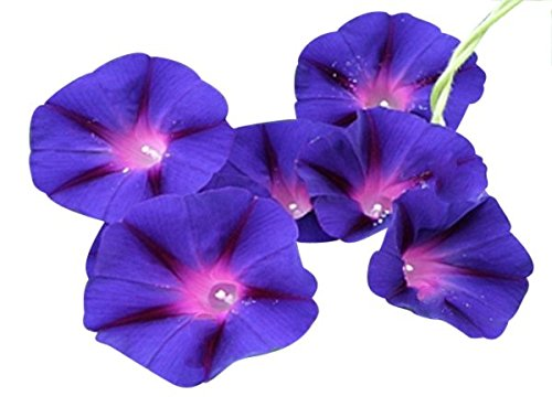 Grandpa OTT Purple Morning Blooming Vine Seeds