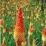 Coossi 10PCS Guzmania Knipho Fiauvaria Flower Seeds Plant Garden