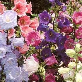 150 Mixed Colors CUP & SAUCER (Canterbury Bells) Campanula Medium Flower Seeds ()