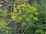Dill Dukat Great Garden Herb by Seed Kingdom Bulk 1/4 Seeds
