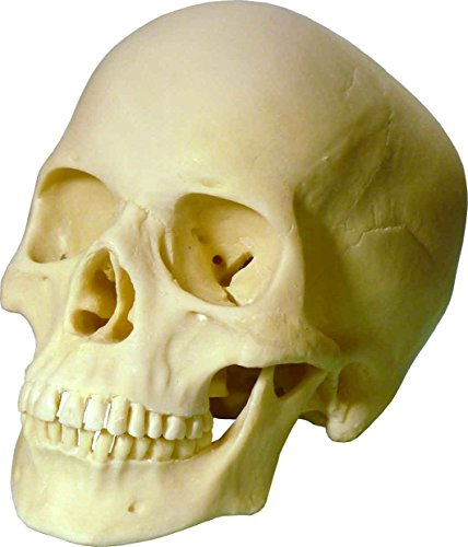 Life-Size Human Skull Replica, Model 3093001, by Nose Desserts