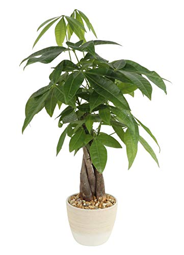 Costa Farms Money Tree, Pachira, Medium, Ships in Premium Ceramic Planter, 16-Inches Tall ()