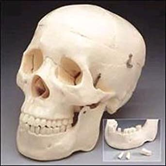 Budget Life-Size Skull: Science Lab Biology Classroom Supplies ...