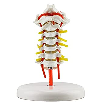 Melleco Cervical Vertebra Arteria Spine Spinal Nerves Anatomical ...