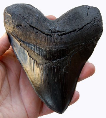 5.5 Inch Megalodon (Carcharodon megalodon) tooth, Black with Serrations(Replica)