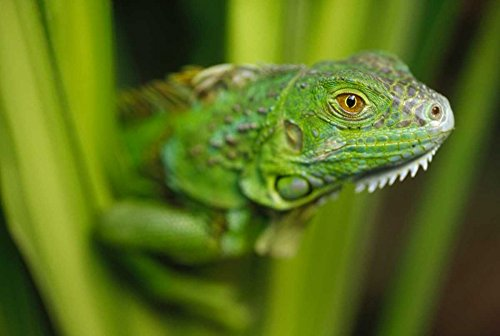 Posterazzi Poster Print Collection Iguana Amid Green Leaves