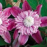 Clematis, Josephine Seeds - Treasuresbylee - 10 Josephine