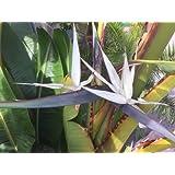 Strelitzienwelt Strelitzia Alba - reinweiß blühende Baumstrelitzie - Rarität - Seltenheit, Jungpflanzengröße o. Topf 40 cm - 70 cm