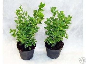 100 Buchsbaum Pflanzen Im Topf Buxus Sempervirens Höhe 15 20 Cm