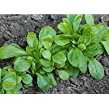 Shelled Warriors Lambs Lettuce 1000 seeds - Grow and feed your tortoise