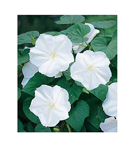 David's Garden Seeds Flower Morning Glory Moonflower SL6634 (White) 25 Non-GMO, Heirloom Seeds ()