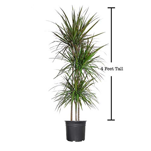 Madagascar Dragon Tree - Dracaena Marginata - 4 Feet Tall - Beautiful Florist Quality House Plant