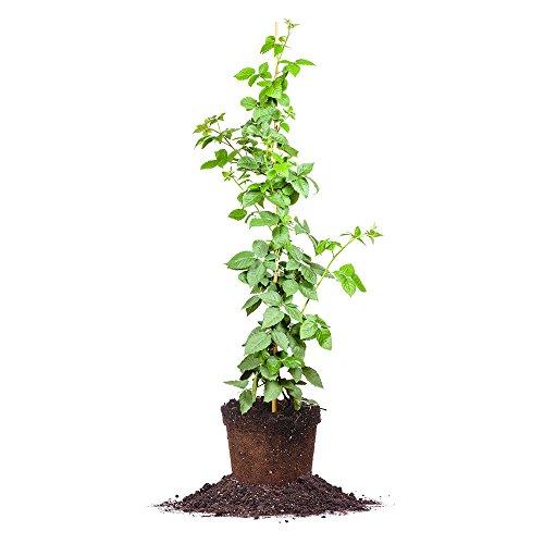 Prime-Ark Freedom Blackberry Bush, Live Plant, Size: 3-4 ft. by perfplantsnursery