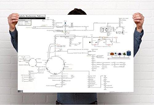 Metabolic Biochemistry Pathways Poster  36 X 24 Inches  Gloss Finish  1
