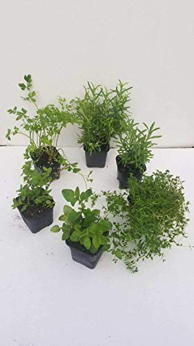 "The Three Company Live 3.5"" Assorted Herbs (Rosemary, Mint, Thyme, Parsley, Lavender, Oregano), Natural Health Benefits"