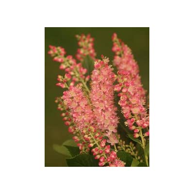 (1 Gallon) Ruby Spice clethra, Gorgeous Frangrant Pink bottlebrush Blooms, Very Cold Hardy to -30F, Tolerates Full Shade : Garden & Outdoor