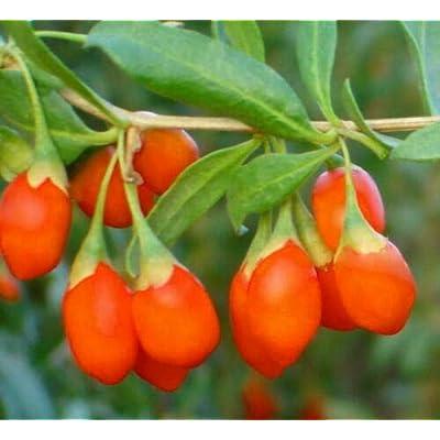 200 Shrub Bush Fruit Out of Pod Himalayan Tibetian Goji Berry Seeds - Wolfberry Fruit Plant Seeds #RR01 : Garden & Outdoor