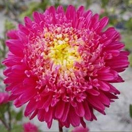 Amazon aster flower seeds wholesale potted landscape flower aster flower seeds wholesale potted landscape flower sea green cut flower seeds full of good sprouts mightylinksfo