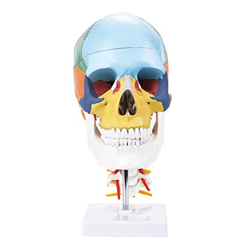 Colored Skull Anatomical Model with Removable Skull Cap and Cervical Spine for Science Education, 5 x 11.5 x 6.7 Inches (Skull Spine)
