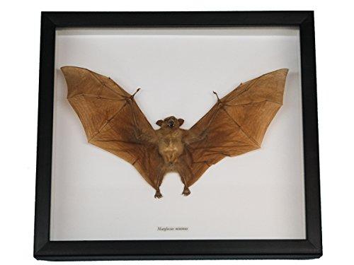 Framed Real Nectar-Eating Bat Eating Framed
