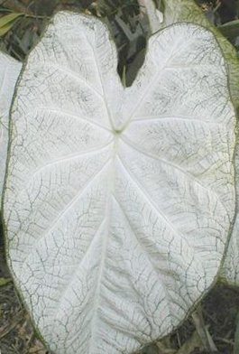 (10) June Bride Caladium, Bulbs, Great for any Garden, Great as a Houseplant