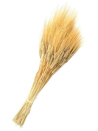 Dried Triticum Natural Wheat Stalk