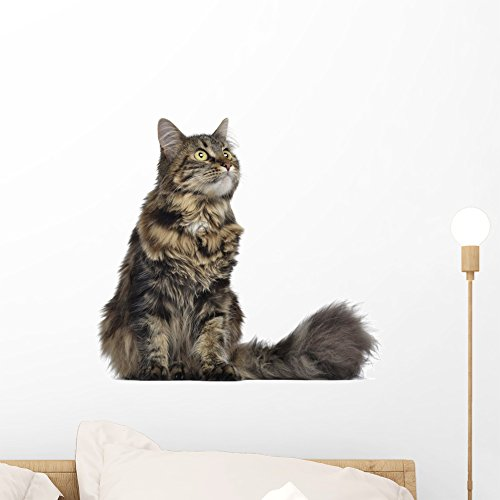 Largest Maine Coon Cat - Wallmonkeys Maine Coon Cat Sitting Wall Decal Peel and Stick Graphic (18 in W x 16 in H) WM61255