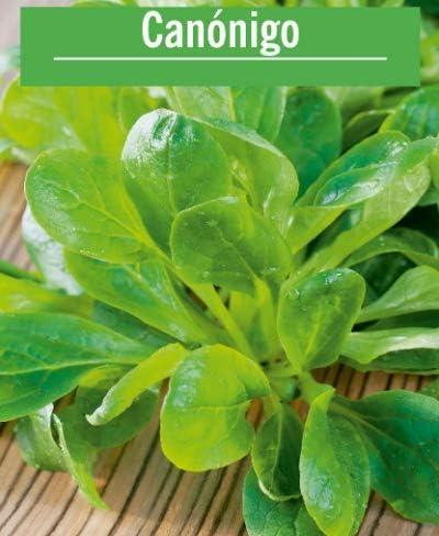 Semillas de Canónigos Valerianella Locusta 350 Semillas de Planta Comestible para Ensaladas: Amazon.es: Jardín