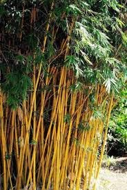 4 Plants - Bambusa Alphonse KARR Clumping Bamboo-3+ Ft Tall Now! t by Old Oaks Garden and Nursery, LLC (Image #3)