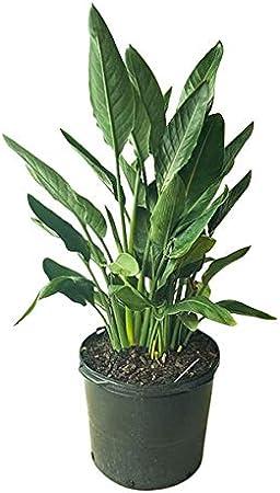 Amazon.com : PlantVine Strelitzia Reginae, Orange Bird of Paradise ...